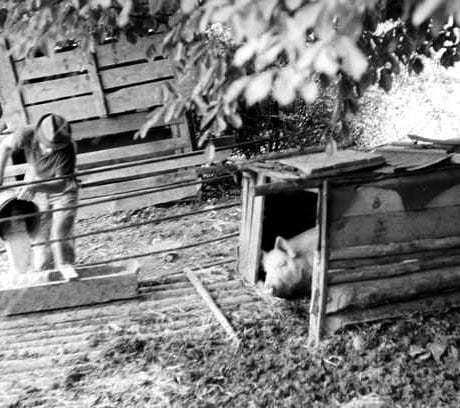 Chliev s ošípanou na salaši. Hruštín. Archív negatívov Ústav etnológie SAV. Foto J. Botík, 1970.