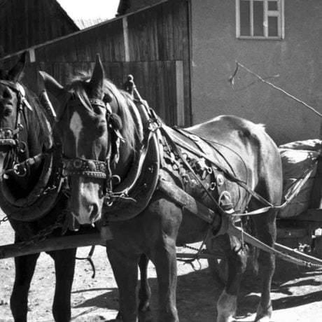 Kone zapriahnuté v chomúte. Heľpa (okr. Brezno), 1971. Archív negatívov Ústavu etnológie SAV v Bratislave. Foto: J. Botík.