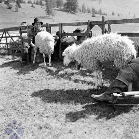Dojenie oviec pri strunge. Muránska Dlhá Lúka