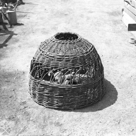 Kurčatá pod košom na hydinu. Gabčíkovo (okr. Dunajská Streda)