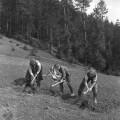 Zakopávanie jačmeňa motykami. Klokočov, okr. Michalovce. Foto J. Boďa, 1961. Archív negatívov SNM Martin.