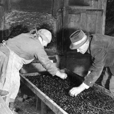 Sušenie sliviek v stodole. Maríková (okr. Považská Bystrica), 1959. Archív negatívov Ústavu etnológie SAV v Bratislave. Foto: J. Dérer