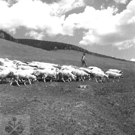 Pasenie oviec. Heľpa, okr. Brezno. Archív negatívov Ústav etnológie SAV. Foto F. Hideg, 1960.
