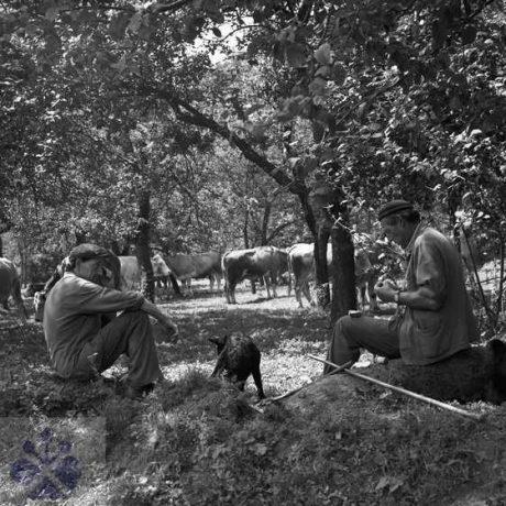 Pastieri hovädzieho dobytka. Rykynčice (okr. Krupina), 1980. Archív negatívov Ústavu etnológie SAV v Bratislave. Foto J. Botík.