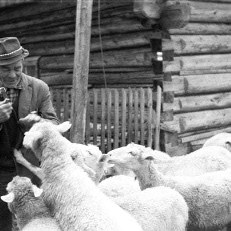 Vyháňanie oviec. Vyšná Boca