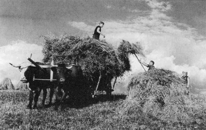 Nakladanie obilia na voz. Belá, okr. Martin. Foto J. Halaša, 1950. Prevzaté z Podolák, J.: Tradičné poľnohospodárstvo na Slovensku. Bratislava 2008, 348.